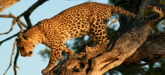 Selous Game Reserve - Leopard in a tree