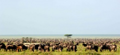 Serengeti safaris - migration herds