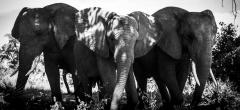 Abu Camp - Elephants