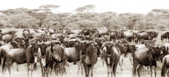 Sayari Mara Camp - Wildebeest migration