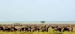 Migration herds