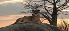 A lioness