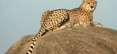 Itinerary photo - Cheetah