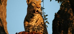 Tanzania safaris - Leopard in the Selous