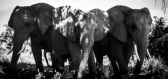 Abu Camp - Elephants