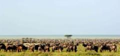 Nomad Serengeti Safari Camp - wildebeest migration