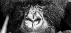 Bisate Lodge - Gorilla