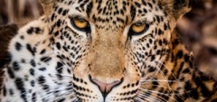 Leopard in South Luangwa National Park