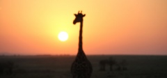 Client photo - Giraffe in the sunset
