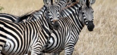 Client photo - Zebra