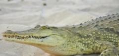 Client photo - crocodile