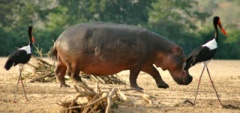 Client photo - hippo