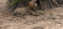 Selous Game Reserve - lion