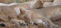 Client photo - lions