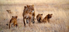 Namiri Plains - Lion