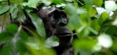 Greystoke Mahala - Chimps