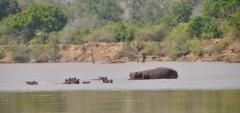 Mivumo Lodge - Hippos