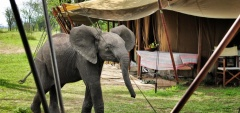 Serian Camp - Elephant in camp