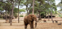 Swala Safari Camp - Elephant in camp
