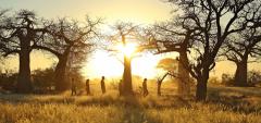 Kichaka Camp - baobabs