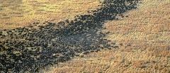 Buffalo in Katavi