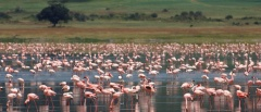 Ngorongoro Crater - Flamingos