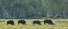 Loldia - Rhino