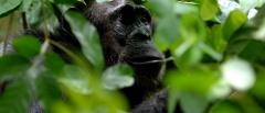 Mahale Mountains - chimp