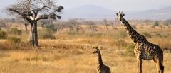 Ruaha giraffe
