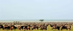 Serengeti safaris - migration herds
