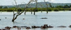 Selous Game Reserve - Hippos in lake Manze