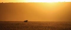 Serengeti safaris - a lone wanderer