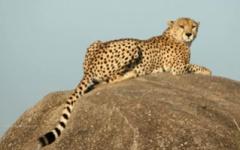 Northern Tanzania - Cheetah in the Serengeti