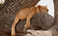 Family safaris - lion
