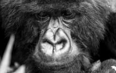 Gorilla - Volcanoes National Park