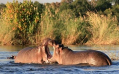 Hippos in the Rufiji
