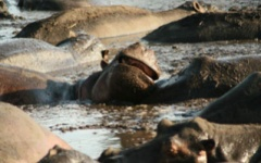 Hippos at Katavi National Park