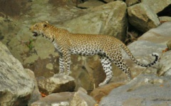 Itienary photo - Leopard