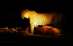 Itineary photo - Leopard Night.