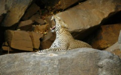 Itinerary photo - leopard