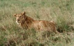 Tanzania Honeymoon - A lion in the Selous