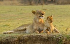Northern Tanzania - Lioness and cub