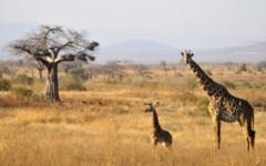 Tanzania safaris - Giraffe in Ruaha