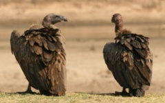 Itienrary photo - Vulture