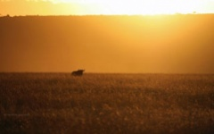 Wildebeest on the plains